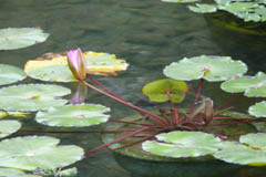 waterlilies01