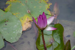 waterlilies02