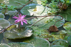 waterlilies06