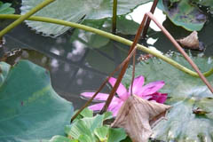 waterlilies08
