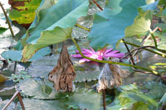 waterlilies09