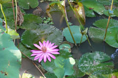 waterlilies10