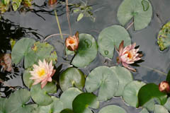 waterlilies11